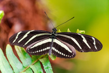 Zebra Longwing Butterfly (Heliconius Charithonia), With Open Wings On A Green Leaf
