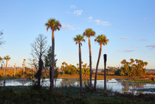 Tall Palm Trees With Wetlands In The Background At Orlando Wetlands Park In Orange County, Florida