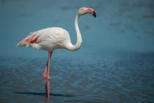 Single Wild Pink Flamingo Portrait