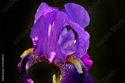 Spoed Foto op Canvas Iris Iris Pflanze, Schwertlilie