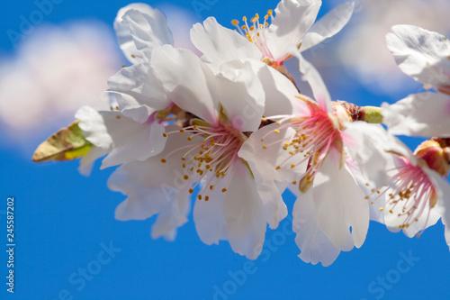 Fototapety, obrazy: flowering almonds background