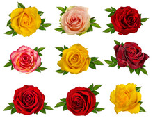 Fresh Beautiful Roses Isolated On White Background With Clipping Path