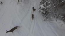 Deer In Winter Forest Run Away From Drone 4k