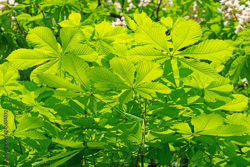 Frische Blätter der Rosskastanie, Aesculus Canvas Print