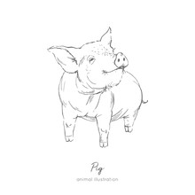 Vector Illustration Of Pig Farm Animal. Hand Drawn Ink Realistic Sketching Isolated On White. Perfect For Agriculture Farm Logo Branding Design.