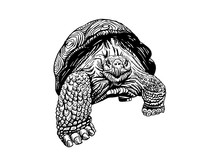 Graphical Sketch Of Tortoise Isolated On White , Vector Illustration