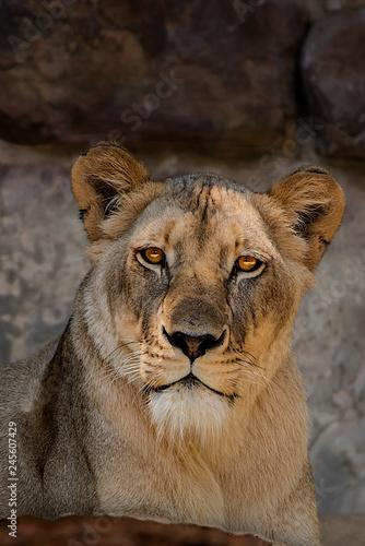 Female Lion Fototapeta
