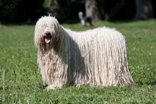 fototapeta na ścianę Komondor (Hungarian sheepdog) posing in the park