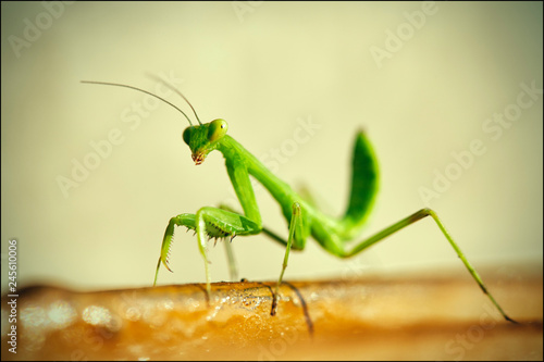 Fotografie, Obraz  Crimean mantis macro insect. Macro close up image