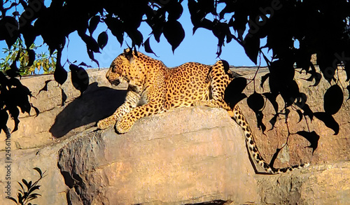A beautiful large leopard lies quietly on a rock.