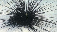 Black Diadem Sea Urchin. Echin...