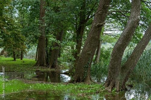 Photo old trees European alder (Alnus glutinosa) on the shore of the lake
