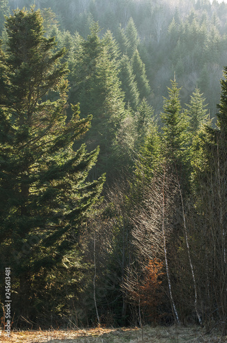 Forest of European silver fir (Abies alba) in the Carpathian Mountains in the ba Canvas Print