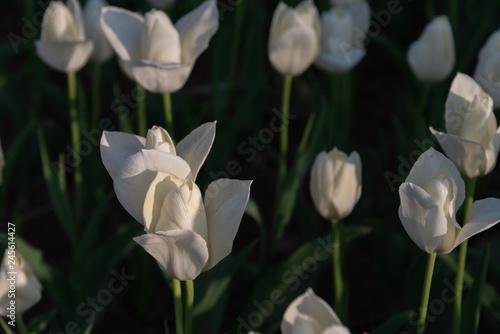 Fotografie, Obraz  Tulip Snow White. Colorful Tulip flower fields.