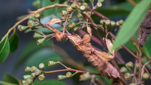 Close Up Of A Stick Insect On ...