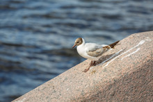 Beautiful White Seagull With Brown Plumage Is Walking Along A Granite Ledge Against The Dark Waters Of The Neva River In Saint-Petersburg, Russia
