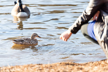 Closeup Of Girl Or Woman Hand Feeding Wild Ducks And Geese Birds By Lake Pond Or River Water Beach Shore