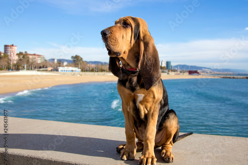 Beautiful Bloodhound puppy at 5 months. Fototapet