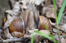 Gastropods. Two Land Snails During Mating In Its Natural Habitat. Fauna Of Ukraine. Shallow Depth Of Field, Closeup.