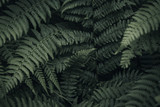 Gardło Paproci - Ancient Forest, BC - 245636817
