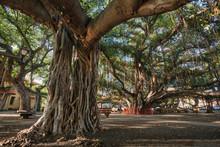 The Banyan Tree In Lahaina (Ma...