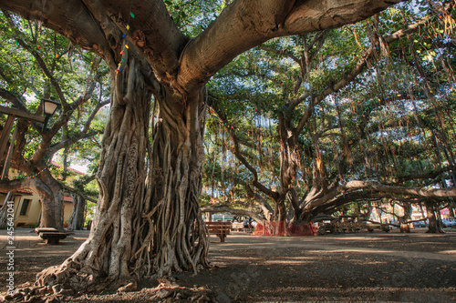 The Banyan Tree in Lahaina (Maui, HI) Wallpaper Mural