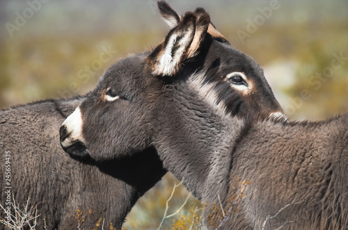 Photo  Wild Burros