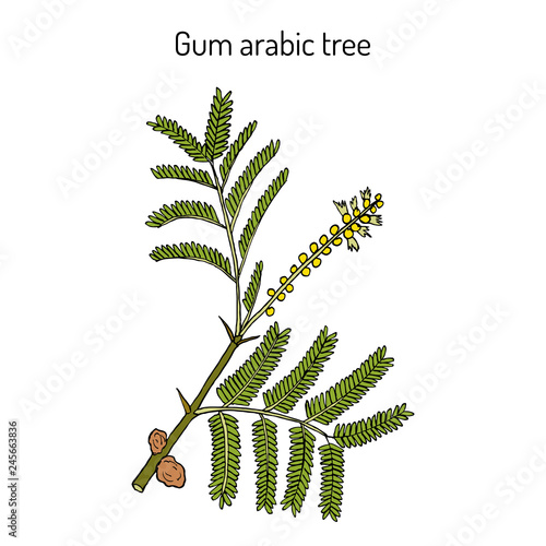 Gum arabic tree Acacia senegal , or Kher, medicinal plant Canvas Print
