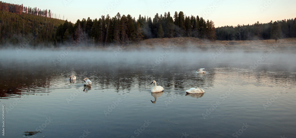 Trumpeter Swans in mist in Yellowstone River at dawn in Yellowstone National Park in Wyoming United States