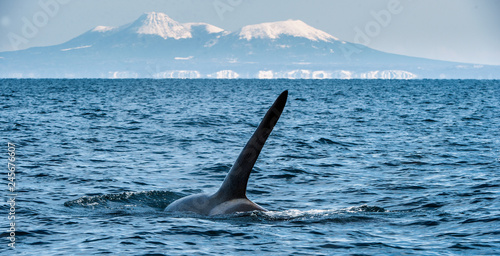 Photo  Orca or killer whale, Orcinus Orca, travelling in Sea of Okhotsk, Snow-covered mountains on the background