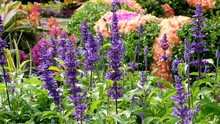 Salvia Farinacea Benth In Garden