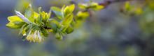 Spring Yellow-green Flowers Of Honeysuckle In The Dawn Gentle Sun, Banner