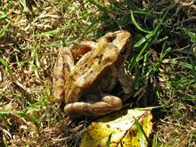 Common Frog (Rana Temporaria) ...