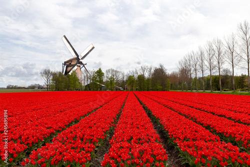 Keuken foto achterwand Rood traf. Dutch purple red tulips bulb farm plantation under a sunny blue sky in spring time