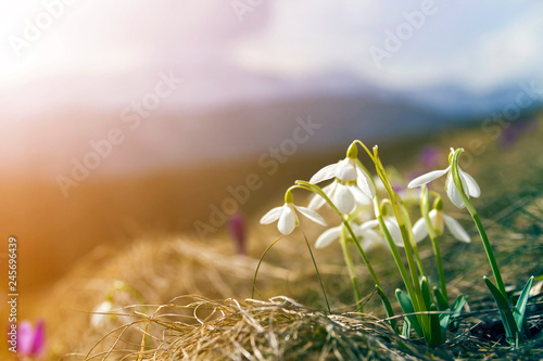 Fotografía  Close-up of lit by sun nice white snowflake spring flowers on high stems with tender green leaves blooming on mountain slope on blurred green and blue sky copy space background