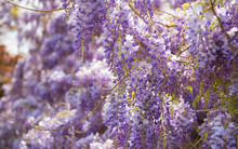 Beautiful Fresh Purple Wisteri...