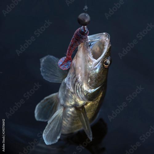 Fototapety, obrazy: Fishing concept. Zander fish trophy above water.