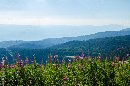 Keuken foto achterwand Heuvel Bush of lush wild pink mountain flowers with hills and sky behind