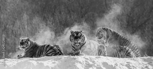 Photo sur Toile Tigre Several siberian (Amur) tigers on a snowy hill against the background of winter trees. Black and white. China. Harbin. Mudanjiang province. Hengdaohezi park. Siberian Tiger Park. Winter. Hard frost. (