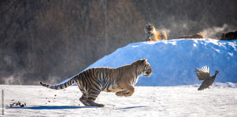 Siberian (Amur) Tiger running in the snow and catch their prey. Very dynamic photo. China. Harbin. Mudanjiang province. Hengdaohezi park. Siberian Tiger Park. (Panthera tgris altaica)