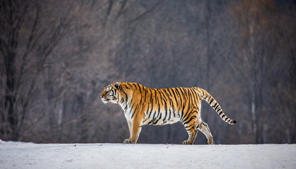 Siberian tiger is standing on a snowy glade in a hard frost. China. Harbin. Mudanjiang province. Hengdaohezi park. Siberian Tiger Park. Winter. Hard frost. (Panthera tgris altaica)