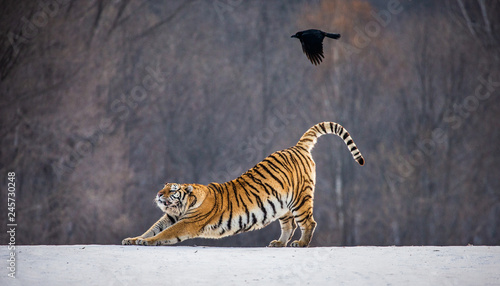 Siberian (Amur) tiger is stretching while standing on a snowy meadow against the background of a winter forest. China. Harbin.  Hengdaohezi park. Siberian Tiger Park. (Panthera tgris altaica)