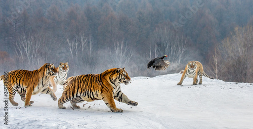 Foto auf AluDibond Tiger Siberian tigers in a snowy glade catch their prey. Very dynamic shot. China. Harbin. Mudanjiang province. Hengdaohezi park. Siberian Tiger Park. Winter. Hard frost. (Panthera tgris altaica)