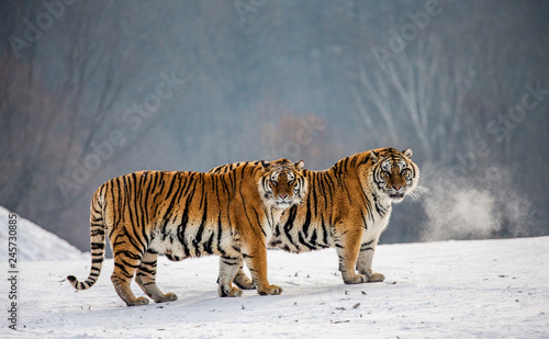 Pair of Siberian tigers in a snowy glade. China. Harbin. Mudanjiang province. Hengdaohezi park. Siberian Tiger Park. Winter. Hard frost. (Panthera tgris altaica)