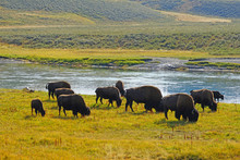 View Of A Herd Of Bison In The...