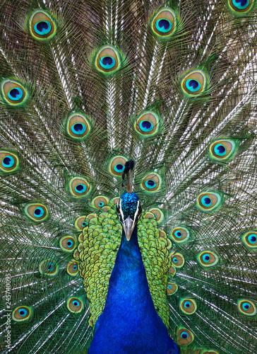 Foto op Aluminium Pauw Peacock in Full Display