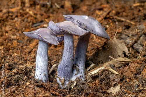 Champignon Pied bleu