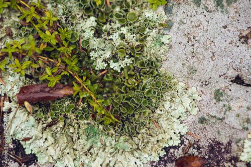 foliose lichen on stone Wallpaper Mural