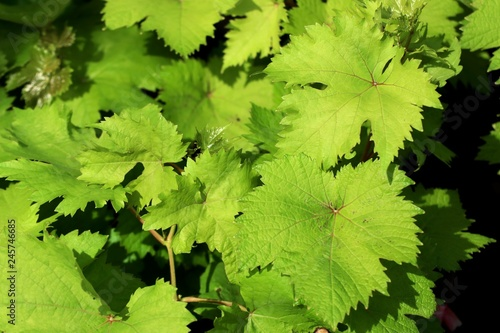 grape leaves in tropical