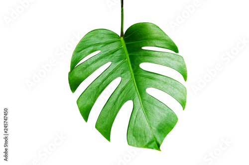 Photo Stands Candy pink Monstera green leaf isolated on white background with clipping path for summer and spring design element.